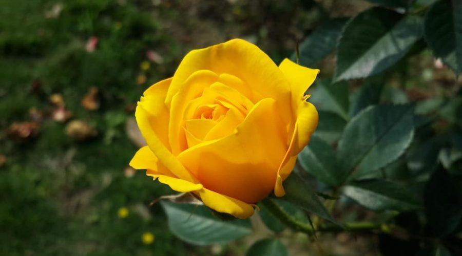 Quanto costa potare le rose