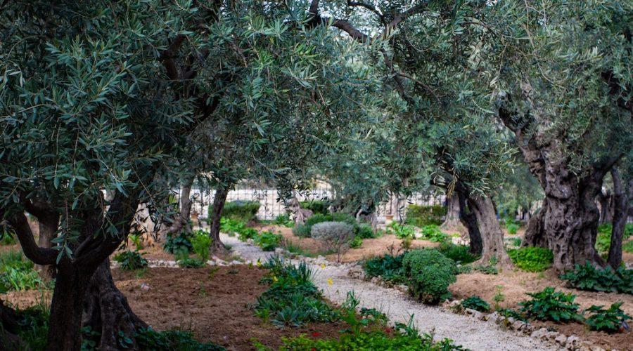 quanto costa potare un olivo
